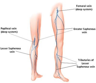 Venous_Anatomy_Small.jpg